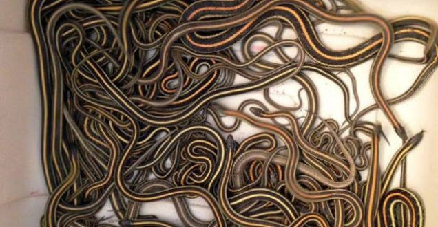 102 Snakes Found in Home in Canada